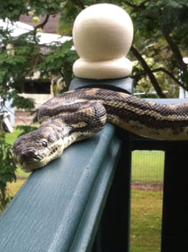 carpet snake in Bardon near Brisbane