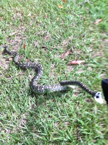 carpet snake striking