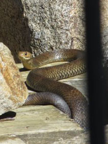 Eastern Brown Snake Dayboro