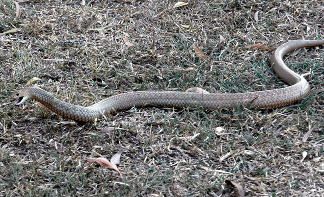 Eastern Brown Snake Samford