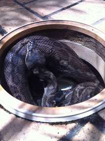 Snake in pool filter box in Brisbane